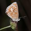 Brown Argus, Aricia agestis 0807