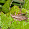Dark Bush Cricket ♀, Pholidoptera griseoaptera 0780