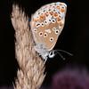 Brown Argus, Aricia agestis 0824
