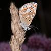 Brown Argus, Aricia agestis 0823