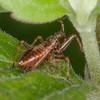 Tree Damsel Bug, early instar nymph, Himacerus apterus 0917
