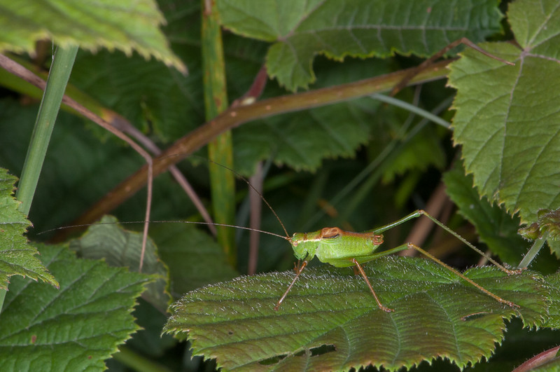 Speckled Bush Cricket ♂, Leptophyes punctatissima 0785