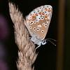 Brown Argus, Aricia agestis 0819