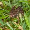 Common Frog, Rana temporaria, Hull 9002