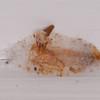 Indian Meal Moth pupal case, Plodia interpunctella, York 9020