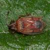 Birch Catkin Bug, Kleidocerys resedae 1561