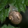 Kentish Snail, Monacha cantiana 1466