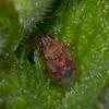 Birch Catkin Bug, Kleidocerys resedae 1468