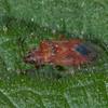 Birch Catkin Bug, Kleidocerys resedae 1563