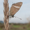 Long-tailed Blue ♂, Lampides boeticus 3833