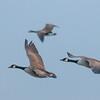 Canada Goose, Branta canadensis 4070