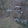 Canada Goose, Branta canadensis 4079