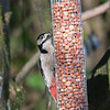 Great Spotted Woodpecker, Dendrocopos major 4202