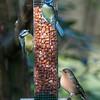 Blue Tits, Cyanistes caeruleus and Chaffinch, Fringilla coelebs 4217