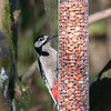 Great Spotted Woodpecker, Dendrocopos major 4209