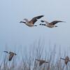 Canada Goose, Branta canadensis 4074