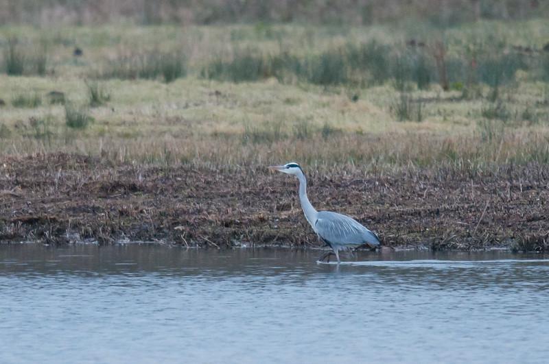 Grey Heron, Ardea cinerea 4049