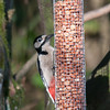 Great Spotted Woodpecker, Dendrocopos major 4208