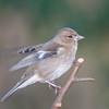 Chaffinch, female, Fringilla coelebs 4177