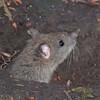 Brown Rat, juvenile, Rattus norvegicus 4197