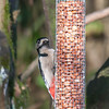 Great Spotted Woodpecker, Dendrocopos major 4204