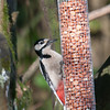Great Spotted Woodpecker, Dendrocopos major 4201