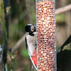 Great Spotted Woodpecker, Dendrocopos major 4205