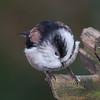Long-tailed Tit, Aegithalos caudatus 4883