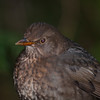 Blackbird, female, Turdus merula 4872