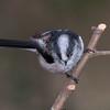 Long-tailed Tit, Aegithalos caudatus 4886