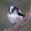 Long-tailed Tit, Aegithalos caudatus 4881