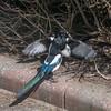 Magpie courtship, Pica pica 8520