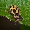 Ladybird, 14-spot, Propylea 14-punctata 8707