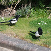 Magpie courtship, Pica pica 8524