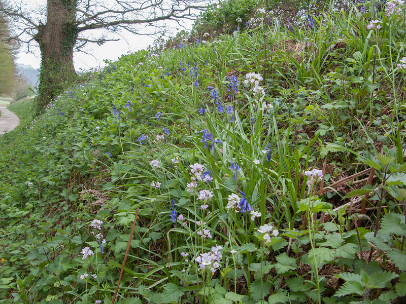 Cuckoo Flower, Cardamine pratensis and Bluebell, Hyacinthoides non-scripta 9137