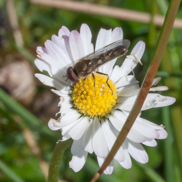 White-footed Hoverfly, Platycheirus albimanus 8750