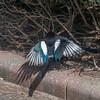 Magpie courtship, Pica pica 8512