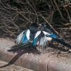 Magpie courtship, Pica pica 8511