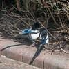Magpie courtship, Pica pica 8509