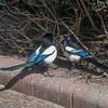 Magpie courtship, Pica pica 8510