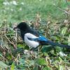 Magpie courtship, Pica pica 8528