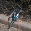 Magpie courtship, Pica pica 8521