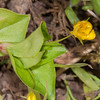 Yellow Pimpernel, Lysimachia nemorum 8749
