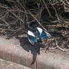 Magpie courtship, Pica pica 8513