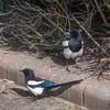 Magpie courtship, Pica pica 8522