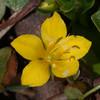 Yellow Pimpernel, Lysimachia nemorum 8745