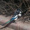 Magpie courtship, Pica pica 8518
