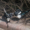 Magpie courtship, Pica pica 8516