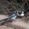 Magpie courtship, Pica pica 8517