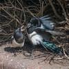 Magpie courtship, Pica pica 8515